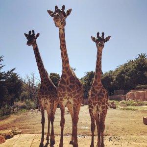 Art of the Story - Three Giraffes