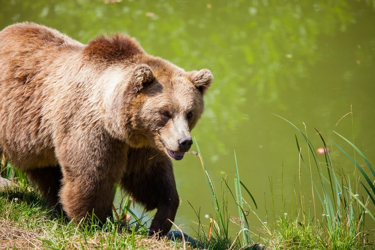 Brown Bear by the River