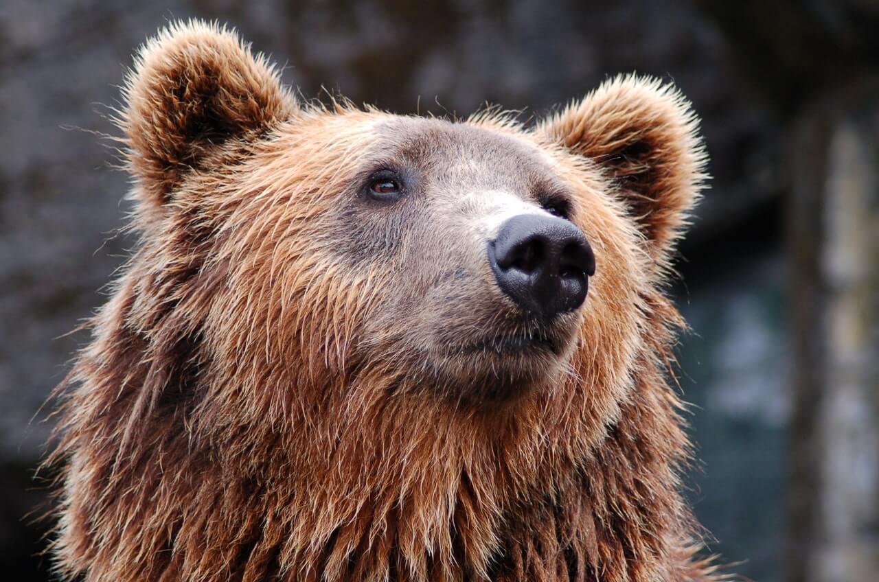Hungry Brown Bear